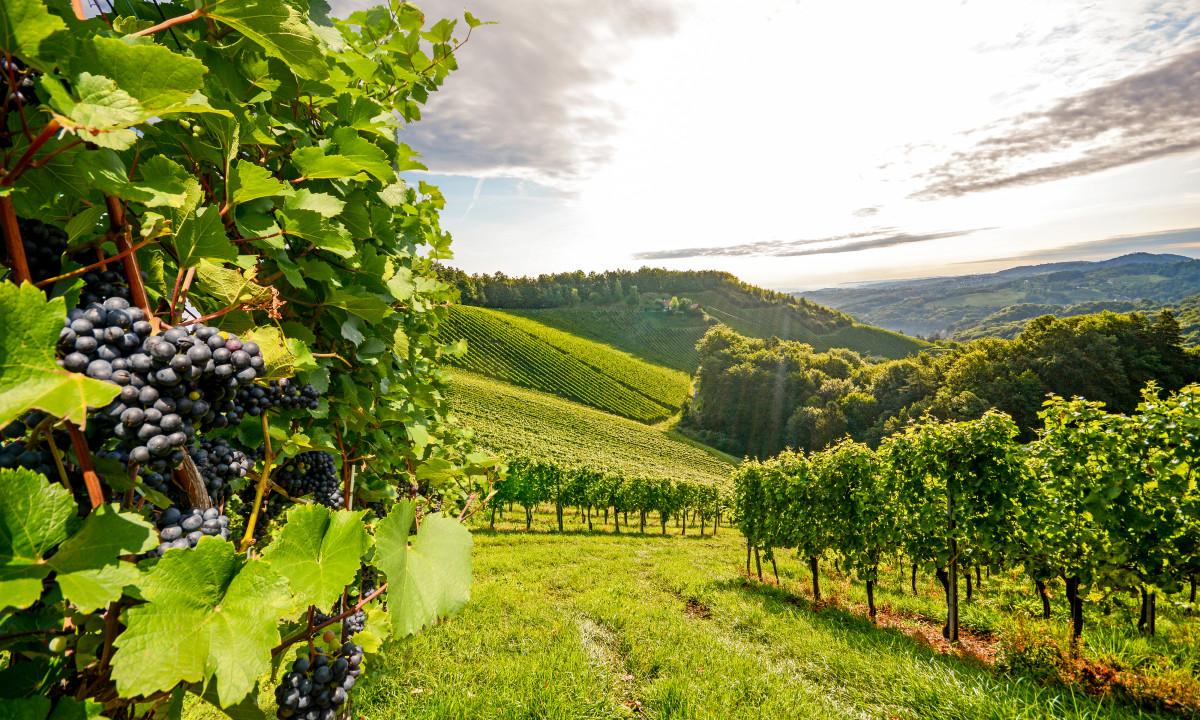 Vinmarker i Oestrig