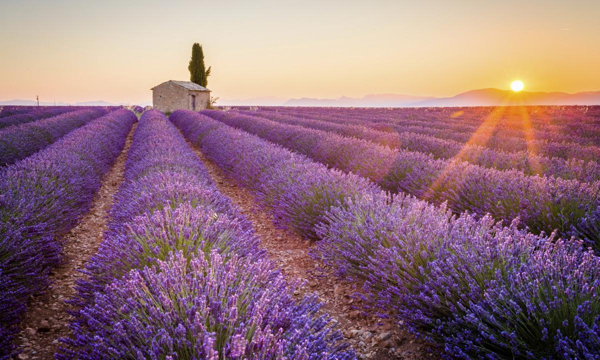 Smuk lavendelmark i Provence