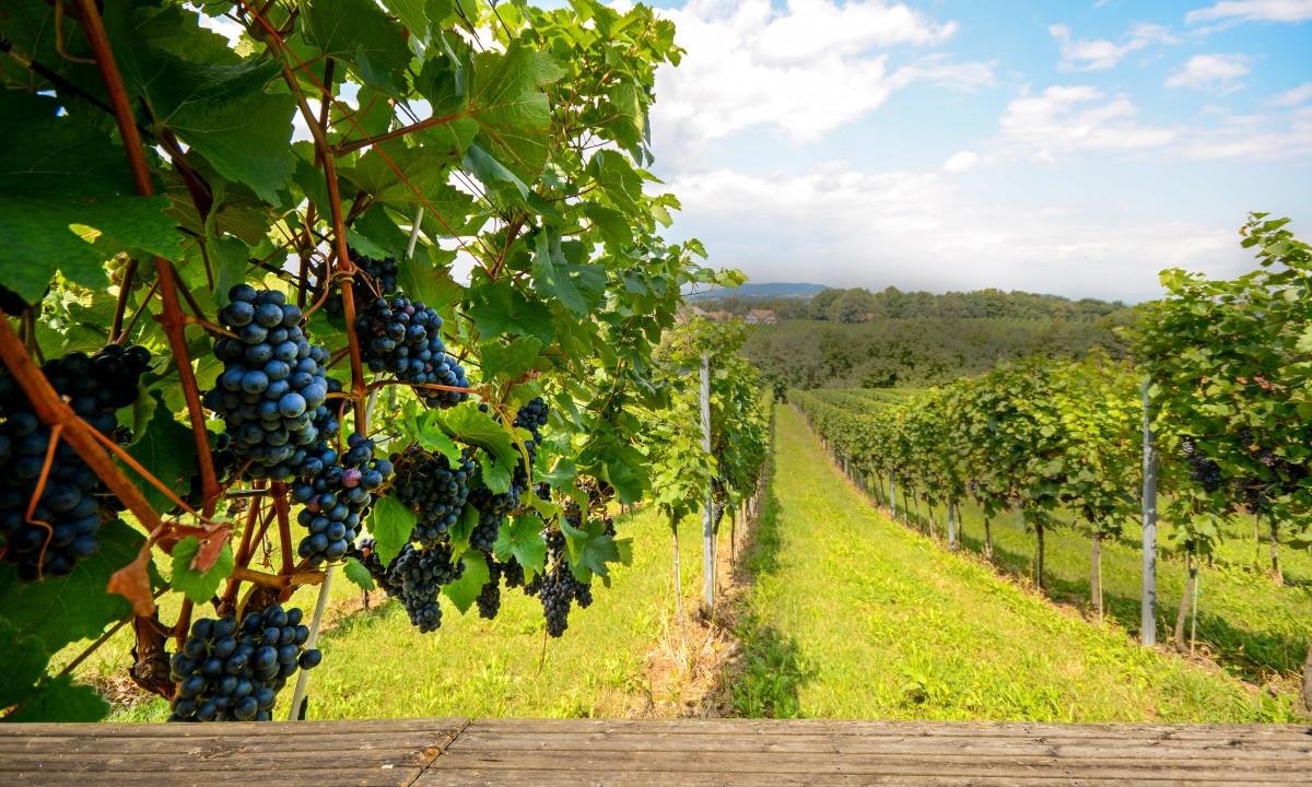 Toscana - Toscansk landskab med vinmarker