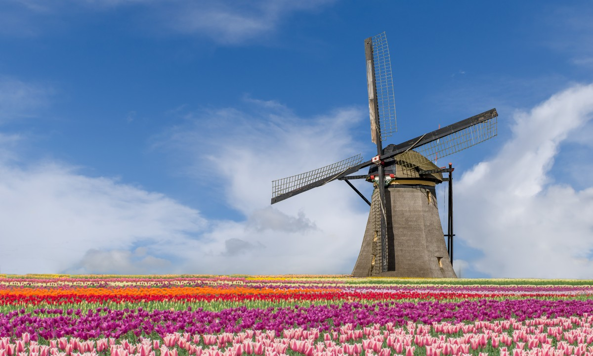 Smukke Hollands natur - Mølle i tulipanmark