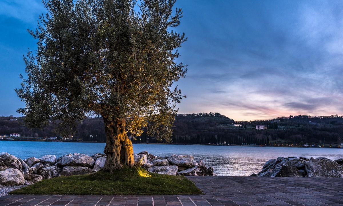 Oliventrae ved Gardasoeen